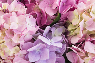 Foto op Canvas Hydrangea Hydrangea Flowers Closeup, Background