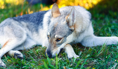 domesticated wolf dog resting relaxed on a meadow.
