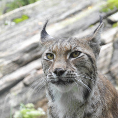 Close up of lynx staring