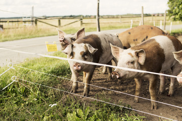 Pigs on field by road at farm