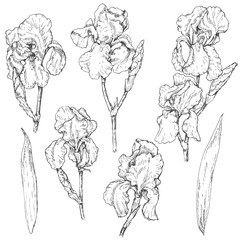 Set of iris flowers sketch