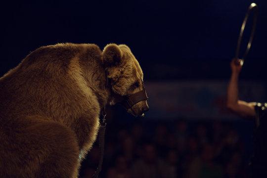 Animals exploitation concept. Close up portrait of a sad bear