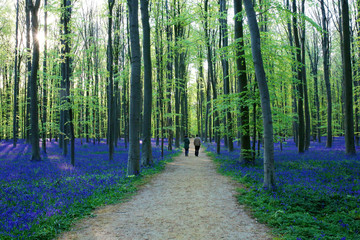 People walking in beautiful spring forest with carpet of bluebells or wild hyacinths on a sunny day, Belgium, Halle
