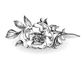 Sketch blooming branch of wild rose. Element for your design. Vector Illustration