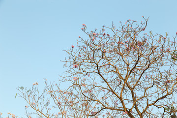 Beautiful blooming pink flower of Tabebuia heterophylla. (Trumpet Tree )