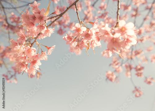 Wall mural Vintage cherry blossom - sakura flower. nature background