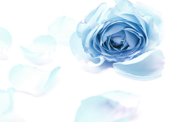 sweet blue roses in soft and blur style