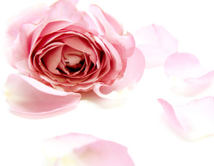 sweet pink roses in soft and blur style