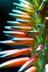 Aloe Vera Flower - Macro Photo