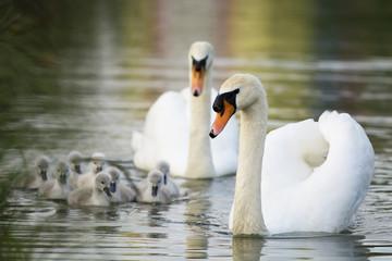 Witte zwanen familie