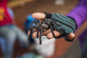 Tarantula on the palm of the hand. Cambodia