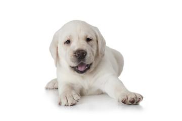 Labrador puppy dog over white