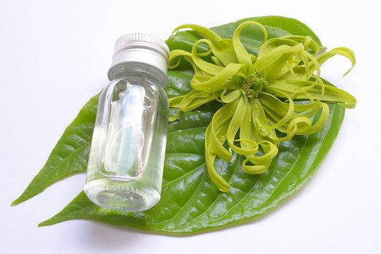 Ylang-Ylang Flower /Cananga odorata isolated on white background
