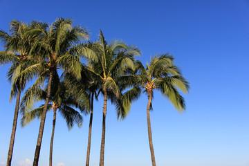 Palm tree in Waikiki Hawaii