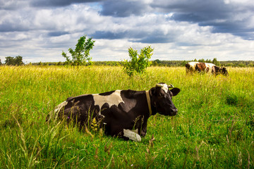 Black and white cows in a grassy field