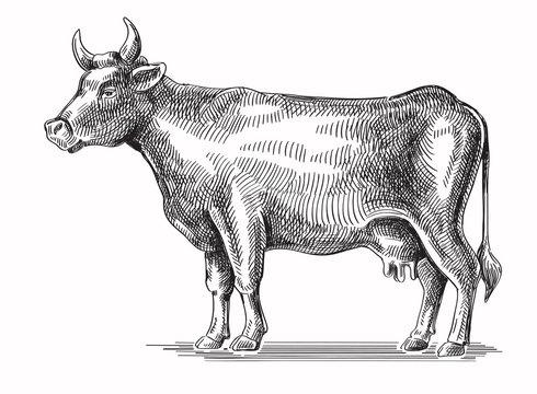 vector black cow