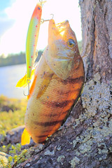 Perch caught in clear Northern river