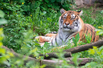 Siberian tiger in green forest