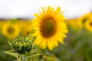 eine ungeöffnete Sonnenblume auf einem Feld