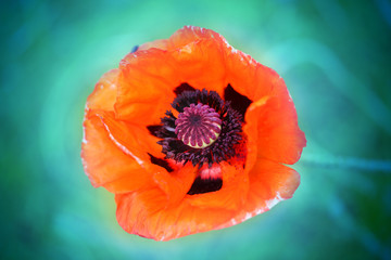 Macro photo of red poppy