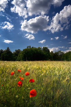 Poppies in field of wheat with blue sky and white clouds, Poland