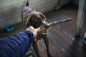 Dog holding wooden stick in mouth