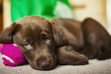Chocolate Labrador puppy lying on floor at home