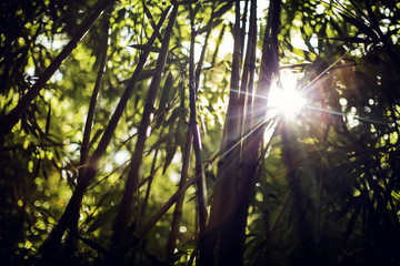 Sun shinning through bamboo plants