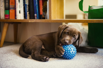 Chocolate Labrador puppy playing with blue toy at home