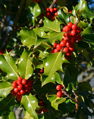 Christmas Holly Tree Closeup of Red Berries and Green Leaves