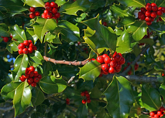 Christmas Holly Tree Red Berries and Green Leaves background in