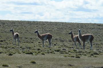 Guanaco in Tierra del Fuego.