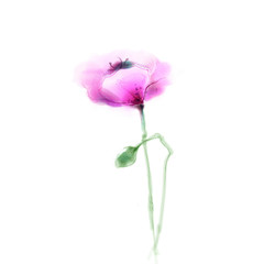 Watercolor painting poppy flower. Isolated flower on white background. Pink and red poppy flower painting. Hand painted watercolor floral, flower background.