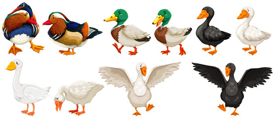 Different kind of ducks and goose