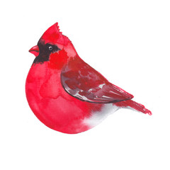 Cardinal. Bird painted on watercolor paper. Etude birds on a white background