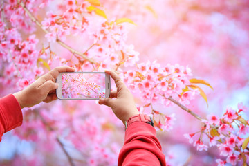 Smartphone photographing Sakura flowers blooming. Beautiful pink cherry blossom in the pastel color style for background