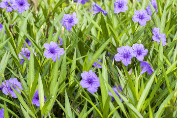 Purple flowers in the garden ,Ruellia tuberosa (Acanthaceae)