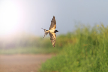Swallow in flight over road with sunny hotspot