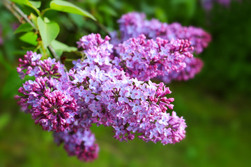Foto auf Leinwand Flieder Lilac flowers isolated on green.