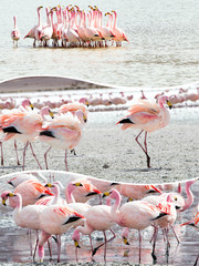Wall Mural - Collage of Bolivia pink flamingo images - travel background (my