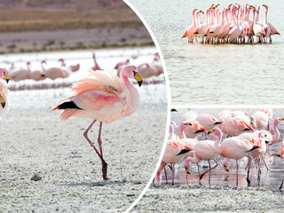 Collage of Bolivia pink flamingo images - travel background (my