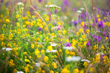 Field of yellow and purple clover flowers
