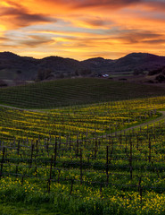 Colorful sunset at Napa California vineyard filled with mustard. Rolling hills in a Napa Valley vineyard. Vibrant mustard flowers growing in winter. Dirt path leads to winery.