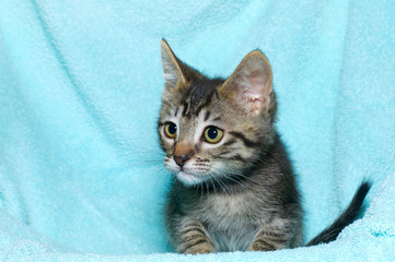 young six week old tricolor tabby kitten sitting laying on an aqua teal colored blanket resting watching looking to the left of the frame