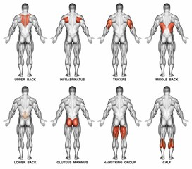 Back projection of the human body. Showing muscle groups that work during exercise. Exercising for bodybuilding Target muscles are marked in red. 3D illustration