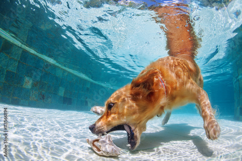 Playful Golden Retriever Labrador Puppy In Swimming Pool Has Fun Dog Jump And Dive Underwater