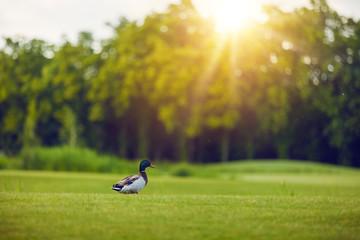 Beautiful duck bird under sunlight going to pond. Duck bird. View of a duck bird in park.