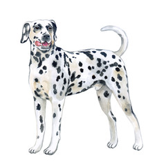 Watercolor closeup portrait of large Dalmatian breed dog isolated on white background. Large shorthair carriage spotted dog from Croatia. Hand drawn sweet home pet. Greeting card design. Clip art