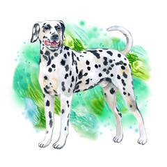 Watercolor closeup portrait of large Dalmatian breed dog isolated on green background. Large shorthair carriage spotted dog from Croatia. Hand drawn sweet home pet. Greeting card design. Clip art