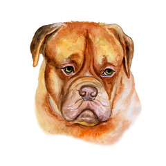 Watercolor closeup portrait of large Bordeaux Mastiff, French Mastiff, Bordeauxdog breed dog isolated on white background. Large shorthair dog. Hand drawn sweet home pet. Greeting card design clip art